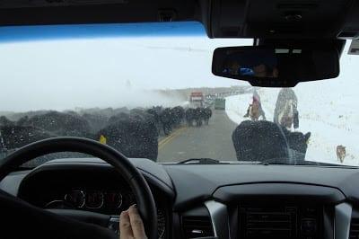 winter cattle drive colorado