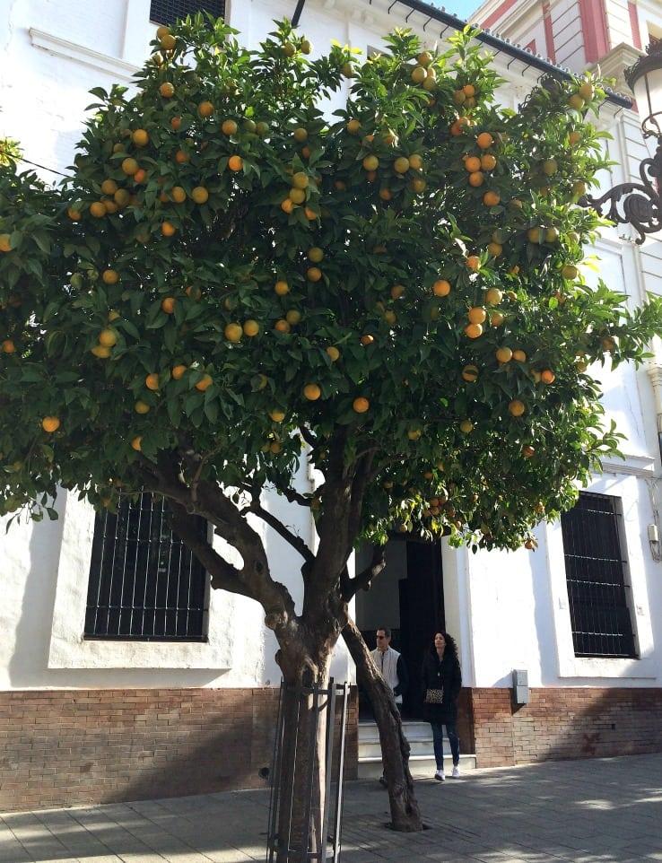 orange tree seville