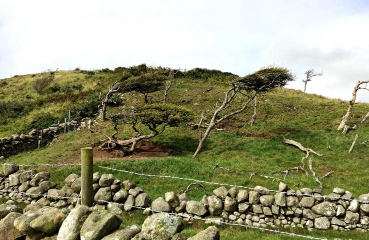 Wind-battered trees on Balcary Bay walk