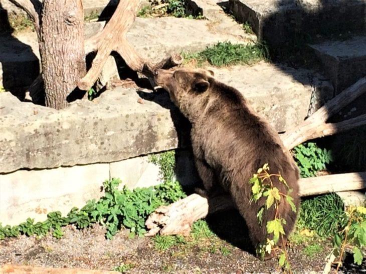 Bear in Bern, Switzerland