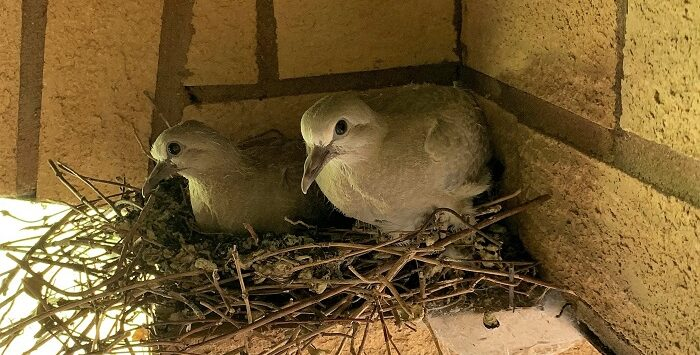 baby collared doves