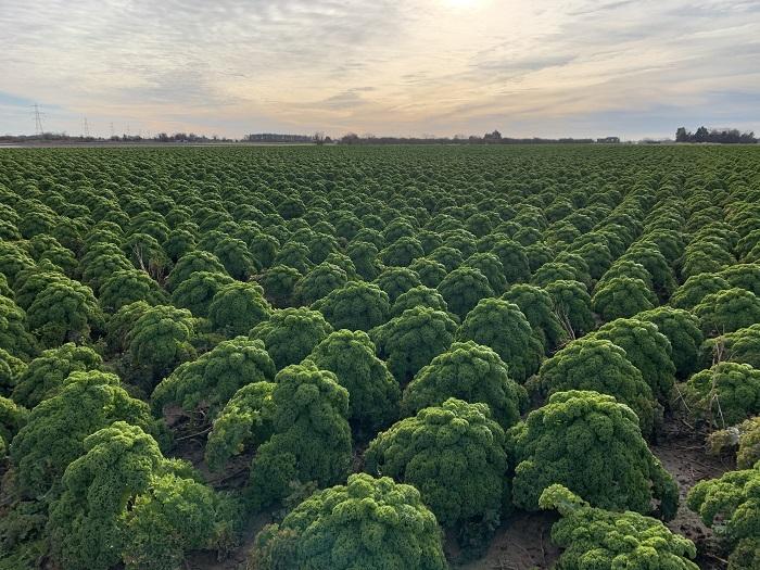 field of kale