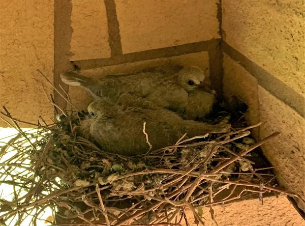 collared dove chicks in nest