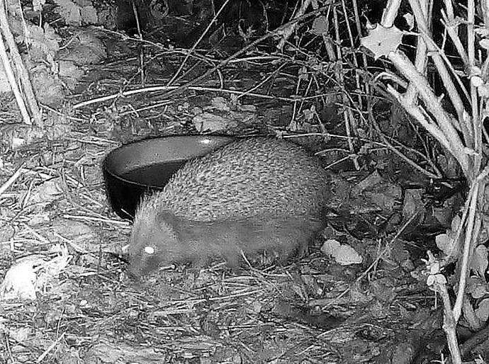 hedgehog on wildlife camera